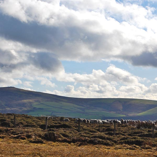 Sheep grazing on Dinas Mountain
